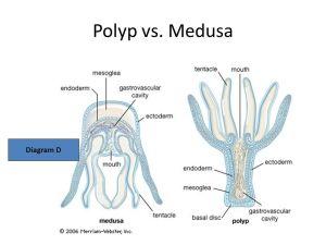 Phylum Cnidaria & Ctenophora  ppt video online download