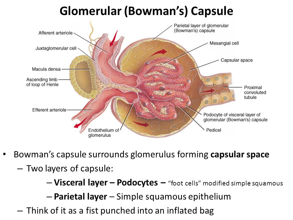 bowman s capsule diagram 1996 toyota 4runner wiring chapter 26 the urinary system ppt video online download glomerular