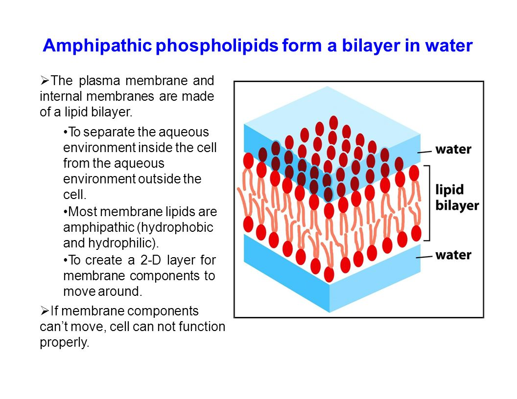 hight resolution of amphipathic phospholipids form a bilayer in water