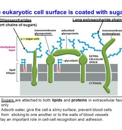 the eukaryotic cell surface is coated with sugars [ 1056 x 816 Pixel ]