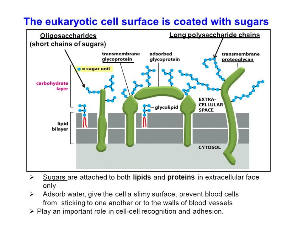 medium resolution of the eukaryotic cell surface is coated with sugars