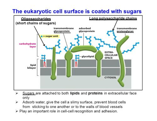 small resolution of the eukaryotic cell surface is coated with sugars