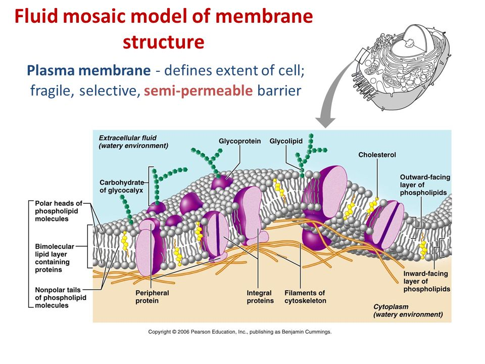 diagram of fluid mosaic model cell membrane clipsal fan controller wiring topic 1 the plasma cellular transport ppt video online specializations 4