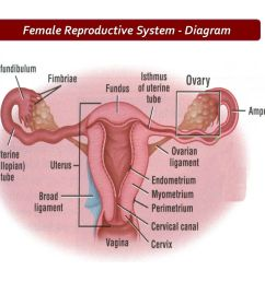 female reproductive system diagram [ 1280 x 720 Pixel ]
