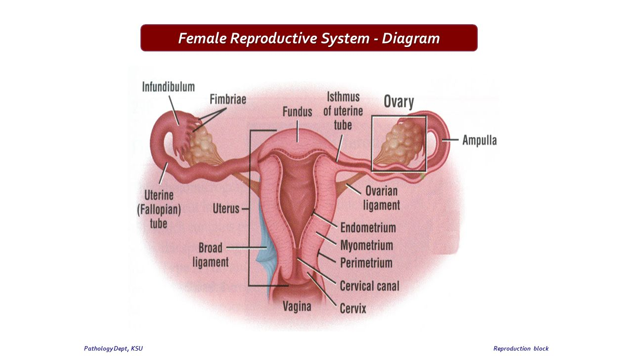 hight resolution of female reproductive system diagram