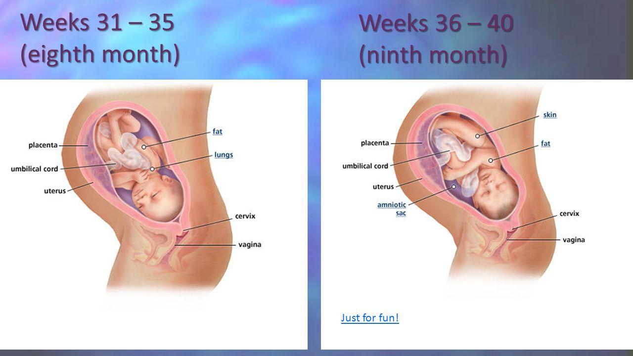 hight resolution of 11 weeks 31 35