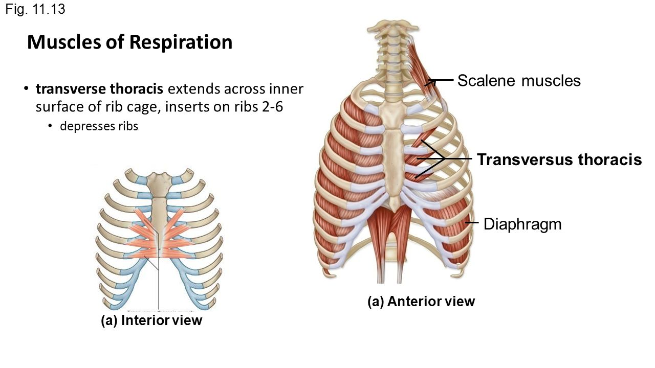 diagram of rib cage and muscles wiring for a trailer chapter 11 part 2 the head neck ppt video online 28 respiration