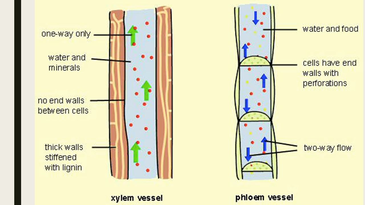 hight resolution of 4 comparison of xylem and phloem tubes