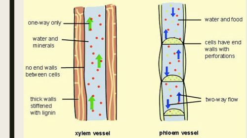 small resolution of 4 comparison of xylem and phloem tubes
