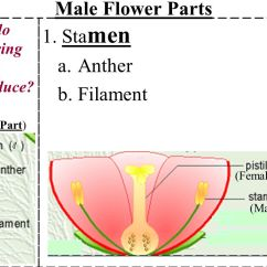 Parts Of A Flowering Plant Diagram Empty Plot Male Flower 1 Stamen Anther Filament Ppt Video Online Download