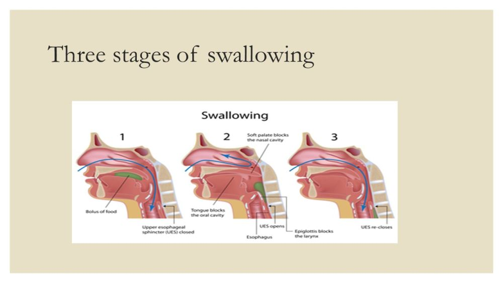 medium resolution of 2 three stages of swallowing
