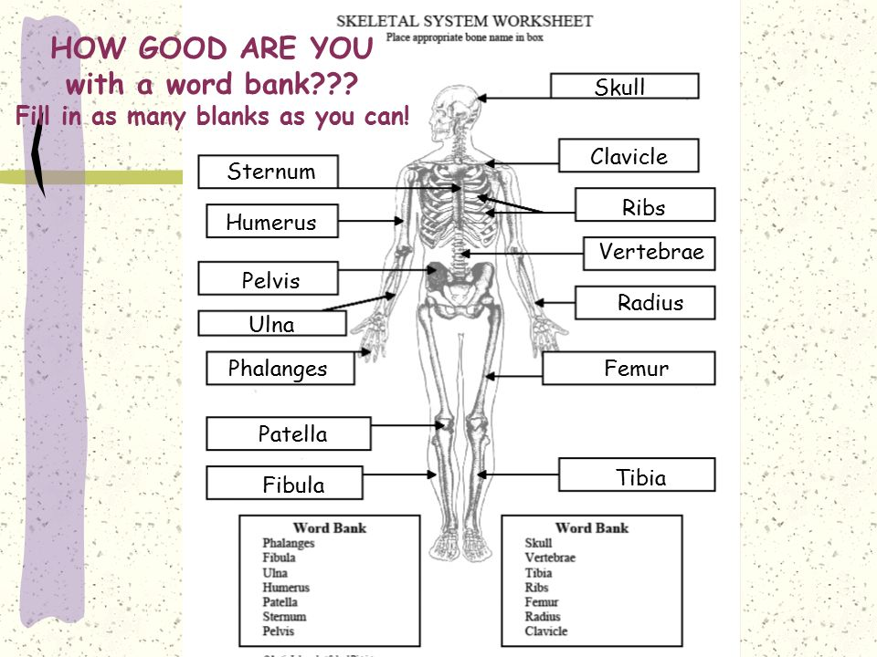 the human skeleton diagram fill in blanks 2008 ford f350 ignition wiring blank with word bank 16 15 kenmo lp de how good are you no as many can rh slideplayer com printable to label