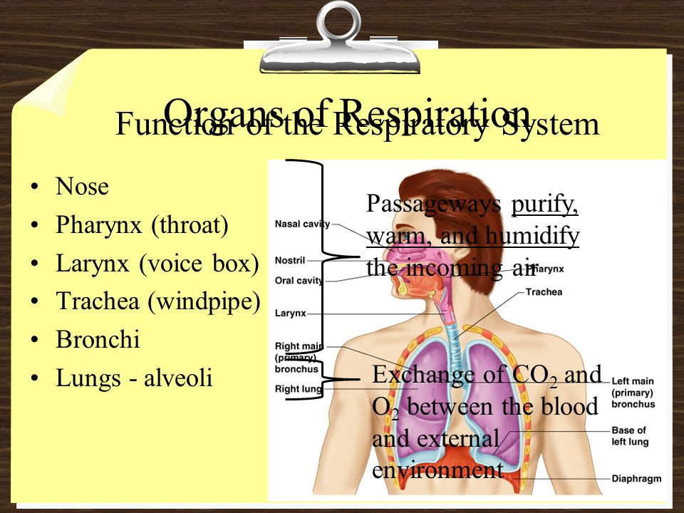 diagram of the nose and its functions plant cell labeled for 9th grade organs respiration function respiratory system ppt