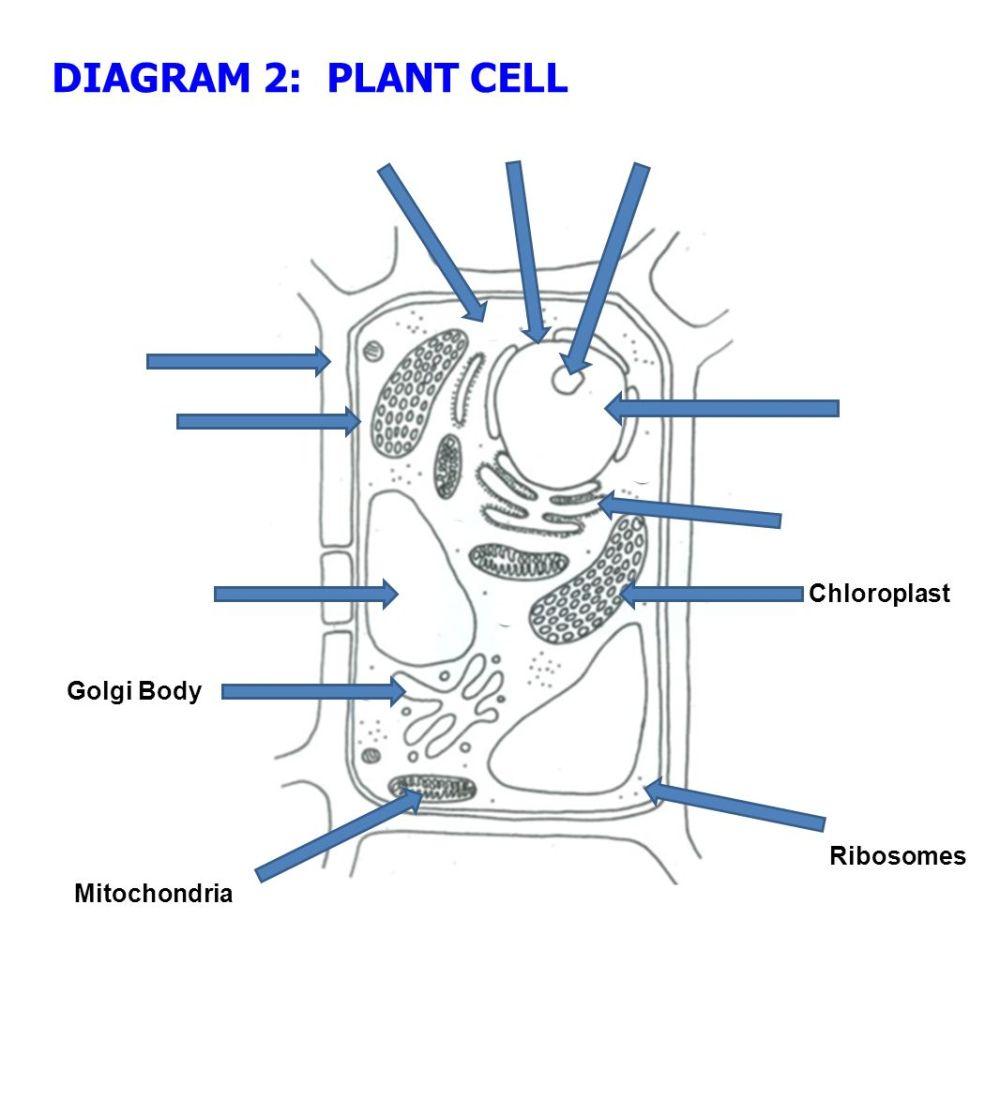 medium resolution of 23 diagram 2 plant cell chloroplast golgi body ribosomes mitochondria