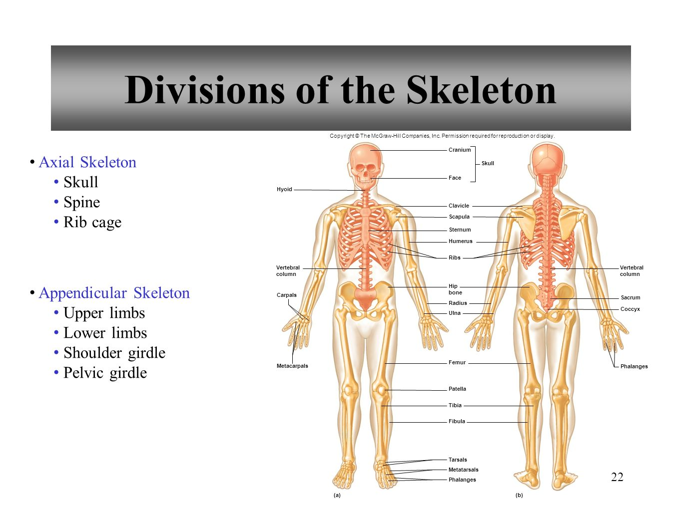 hight resolution of 22 divisions of the skeleton