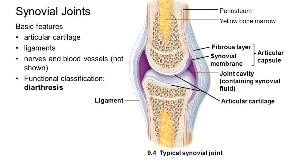 medium resolution of 12 synovial