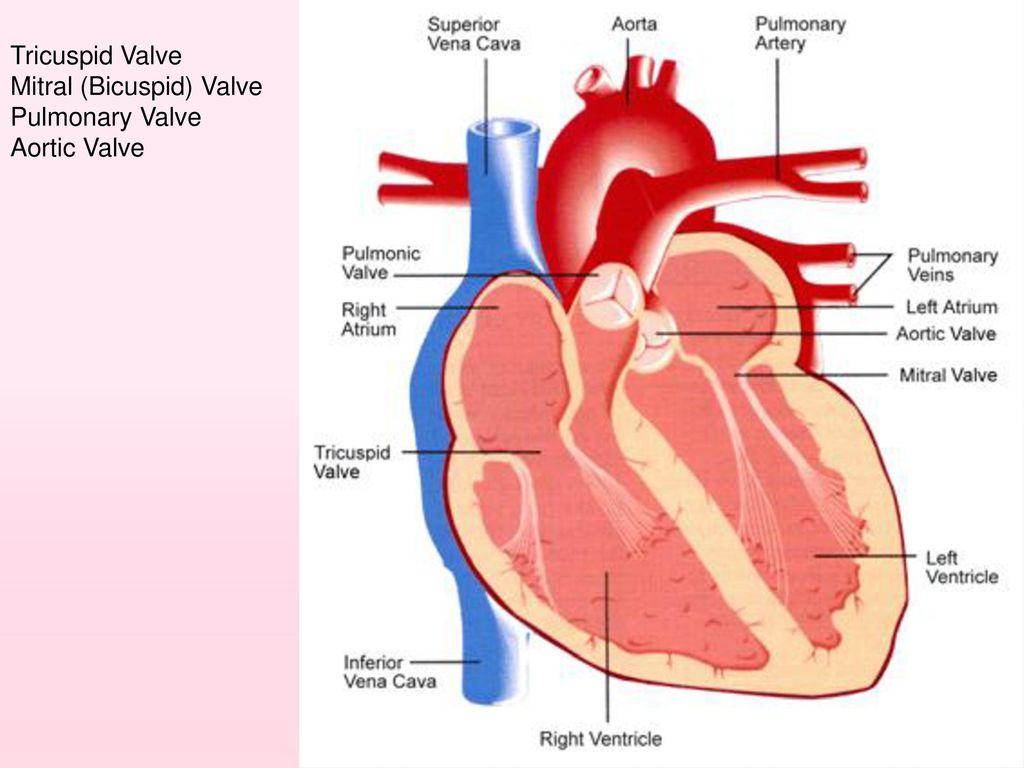hight resolution of 12 tricuspid valve mitral bicuspid valve pulmonary valve aortic valve