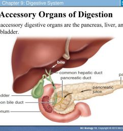accessory organs of digestion [ 1024 x 768 Pixel ]