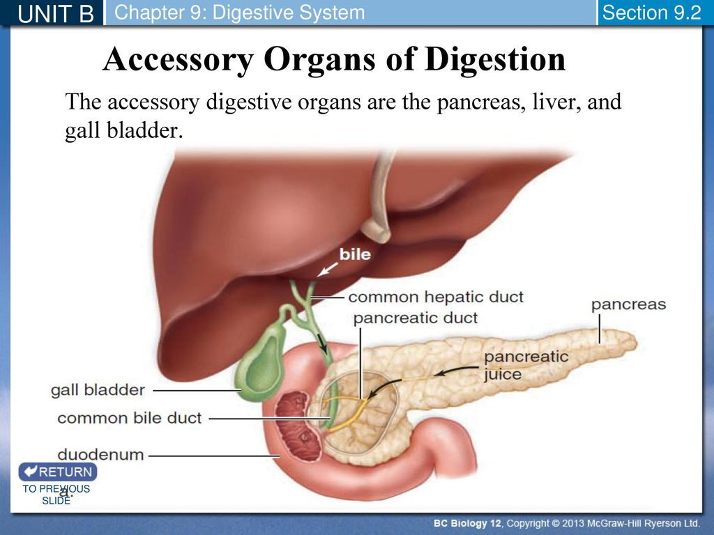 hight resolution of accessory organs of digestion