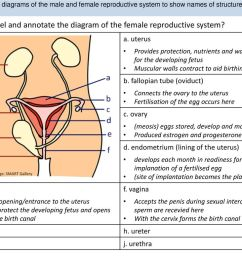 s1 annotate diagrams of the male and female reproductive system to show names of [ 1024 x 768 Pixel ]