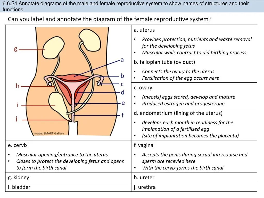 hight resolution of s1 annotate diagrams of the male and female reproductive system to show names of