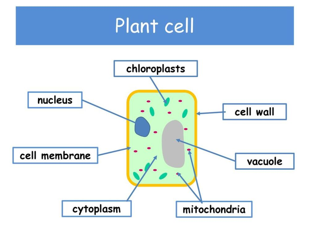 medium resolution of plant cell chloroplasts nucleus cell wall cell membrane vacuole