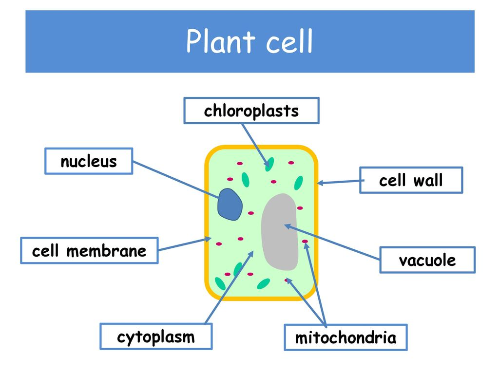 hight resolution of plant cell chloroplasts nucleus cell wall cell membrane vacuole