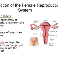 function of the female reproductive system [ 1024 x 768 Pixel ]