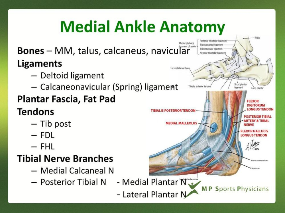 medium resolution of medial ankle anatomy bones mm talus calcaneus navicular ligaments