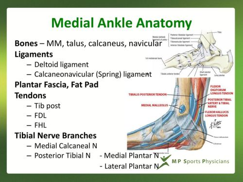 small resolution of medial ankle anatomy bones mm talus calcaneus navicular ligaments