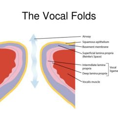21 the vocal folds [ 1024 x 768 Pixel ]