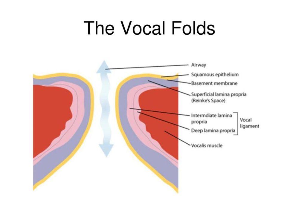 medium resolution of 21 the vocal folds