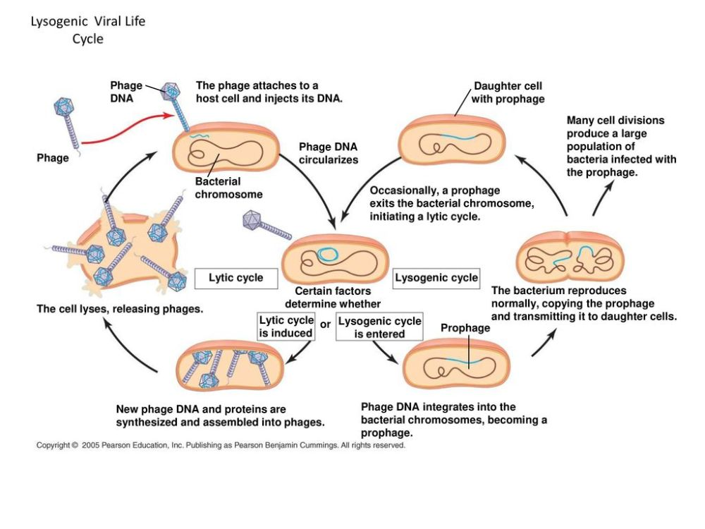 medium resolution of lysogenic viral life cycle