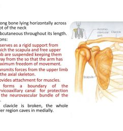 clavicle it is a long bone lying horizontally across the root of the neck it [ 1024 x 768 Pixel ]