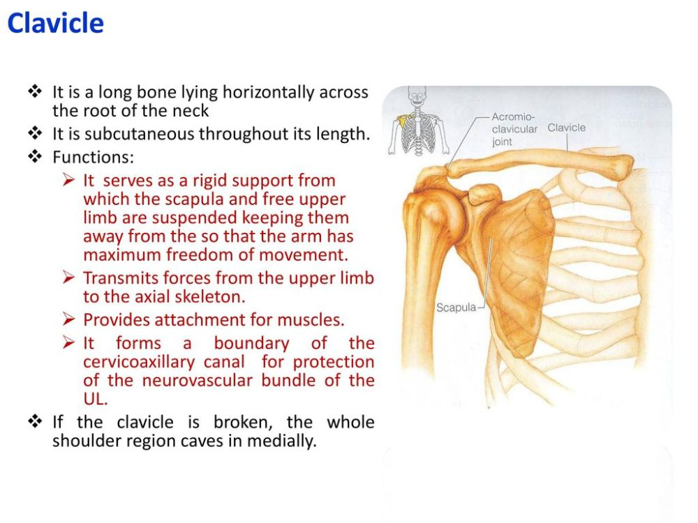 medium resolution of clavicle it is a long bone lying horizontally across the root of the neck it