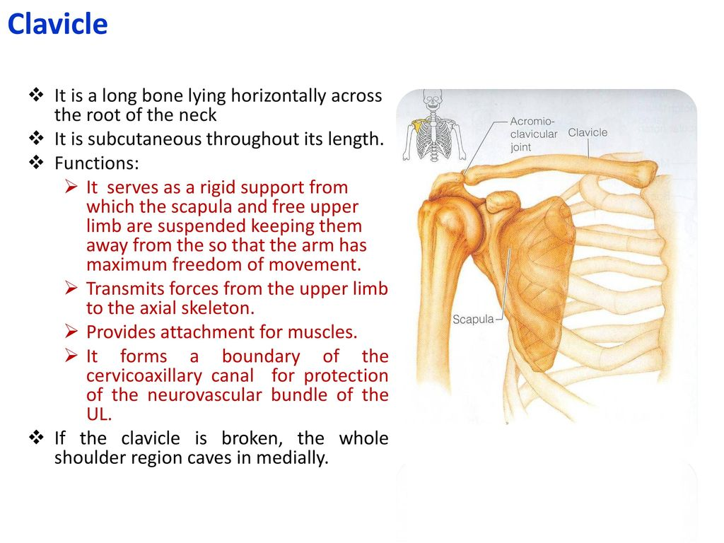 hight resolution of clavicle it is a long bone lying horizontally across the root of the neck it