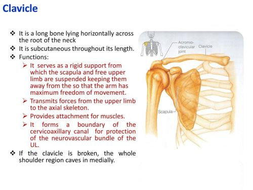 small resolution of clavicle it is a long bone lying horizontally across the root of the neck it