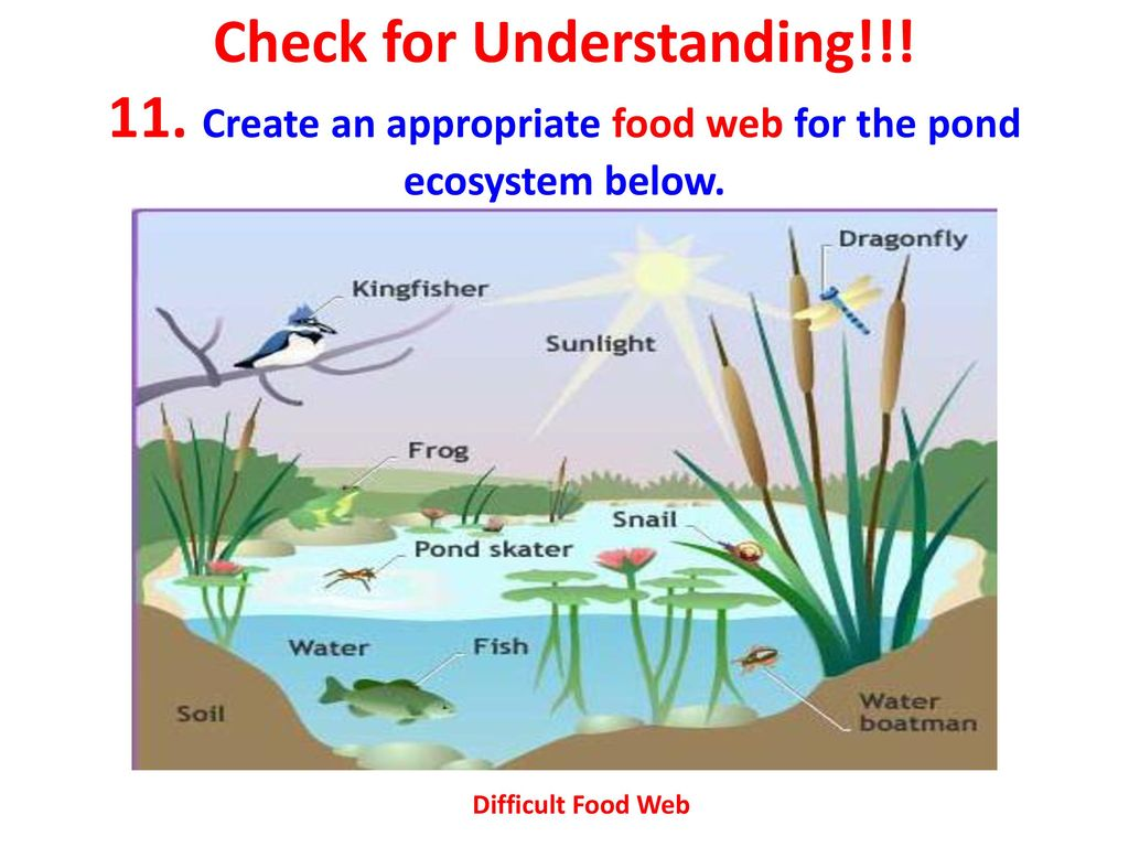 pond ecosystem diagram 1980 kz1000 wiring food web topsimages