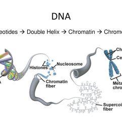 10 dna nucleotides double helix chromatin chromosome [ 1024 x 768 Pixel ]