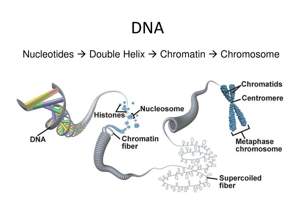 hight resolution of 10 dna nucleotides double helix chromatin chromosome