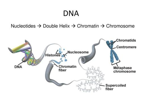 small resolution of 10 dna nucleotides double helix chromatin chromosome