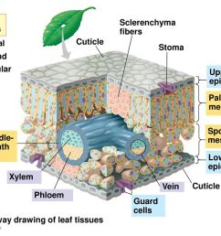 a cutaway drawing of leaf tissues [ 1024 x 768 Pixel ]
