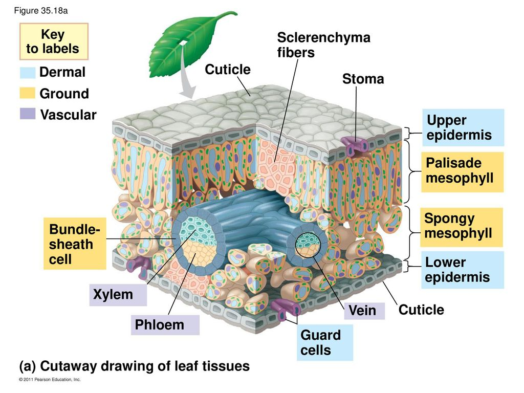 hight resolution of  a cutaway drawing of leaf tissues