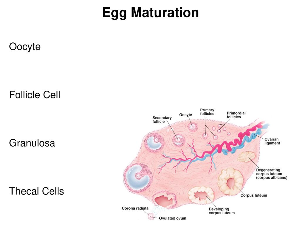 hight resolution of 4 egg maturation oocyte follicle cell granulosa thecal cells
