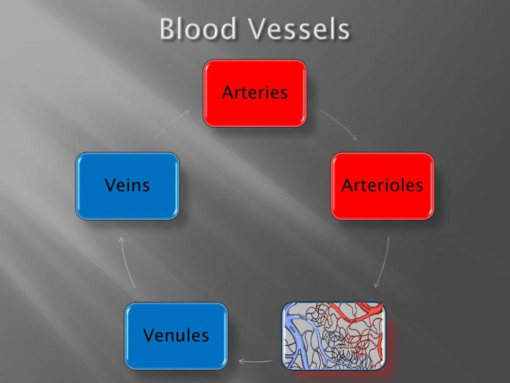 medium resolution of 4 blood vessels arteries arterioles venules veins