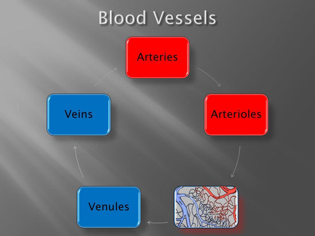 hight resolution of 4 blood vessels arteries arterioles venules veins