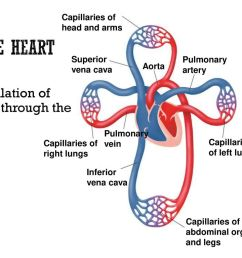 the heart circulation of blood through the body [ 1024 x 768 Pixel ]