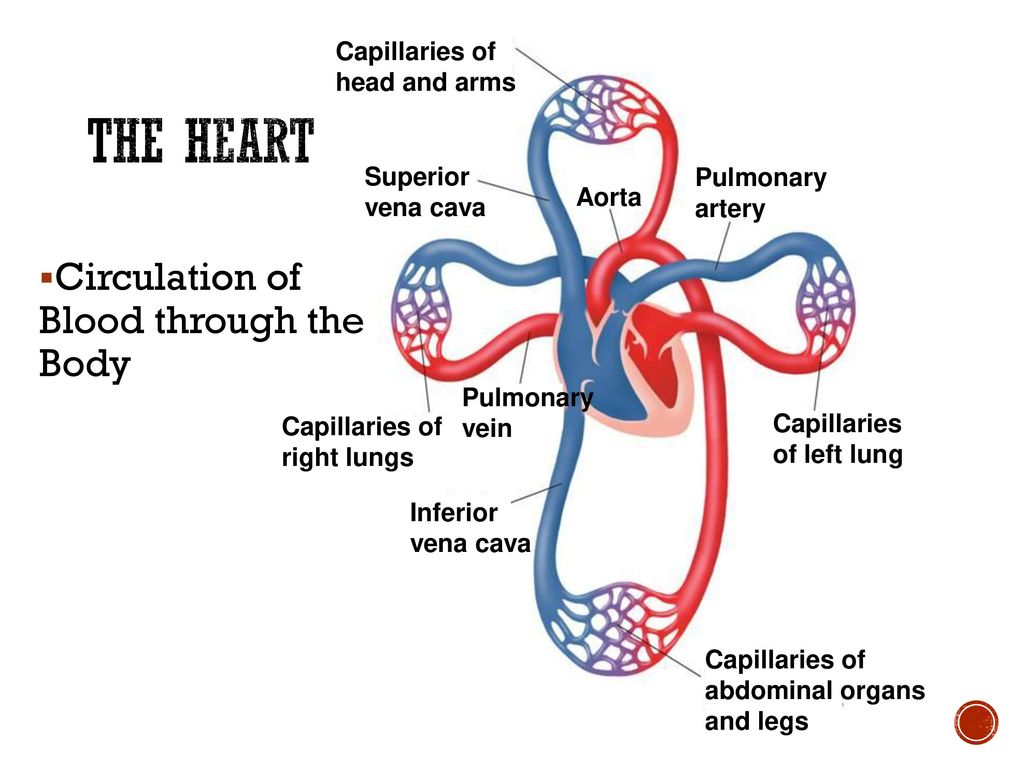 hight resolution of the heart circulation of blood through the body