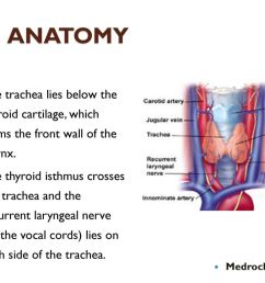 anatomy the trachea lies below the thyroid cartilage which forms the front wall of the [ 1024 x 768 Pixel ]