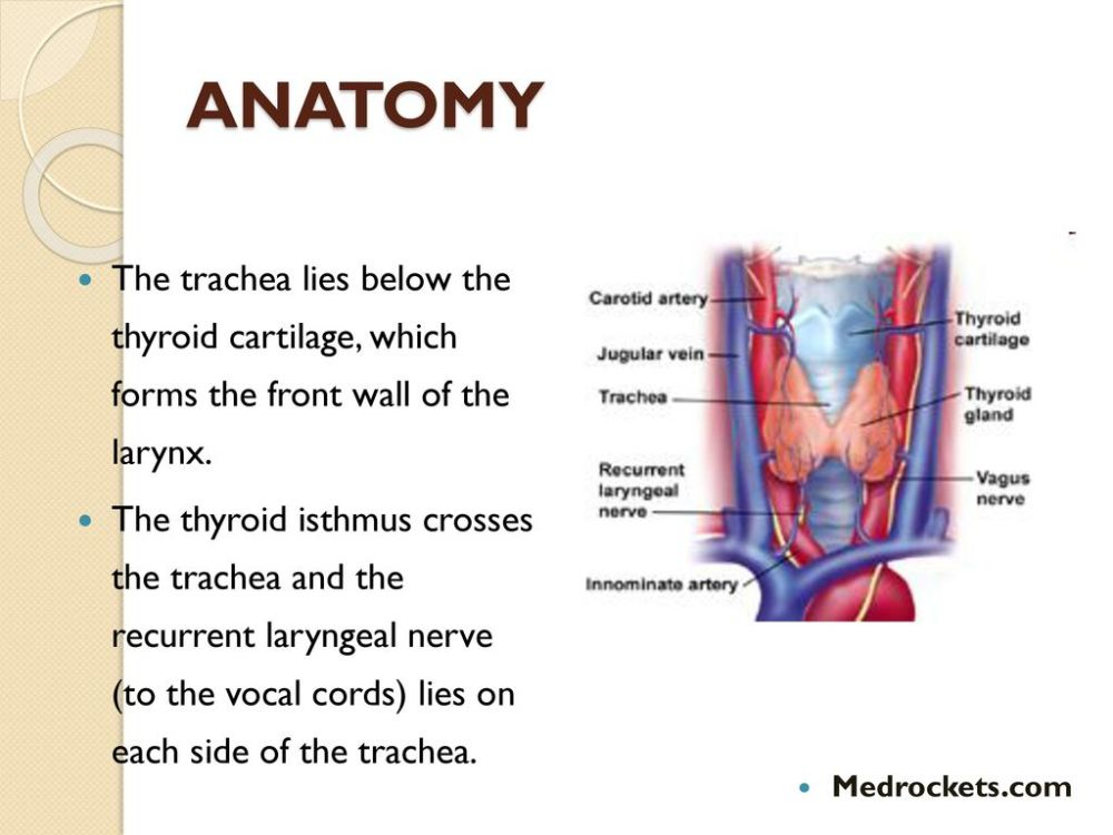 medium resolution of anatomy the trachea lies below the thyroid cartilage which forms the front wall of the